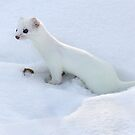 Ermine / Short Tailed Weasel by Gary Fairhead