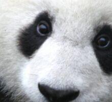 Furry Giant Panda Sticker