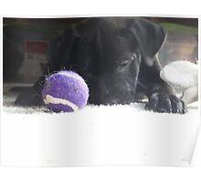 black lab puppy  Poster