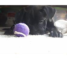 black lab puppy  Photographic Print