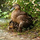 Black duck and ducklings by bobby1