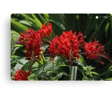 Scarlet Red Flowers Canvas Print