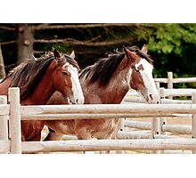 Pair of Draft Horses Photographic Print
