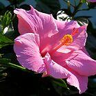 Pink Hibiscus by Caren