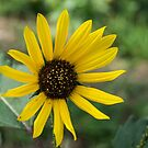 81515 sunflower by pcfyi