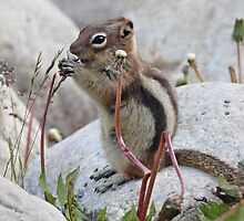 Chipmunk Eating Dandelions by hummingbirds