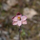 Salmon Sun-Orchid by Justine Armstrong