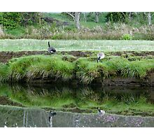 Geese grazing Photographic Print