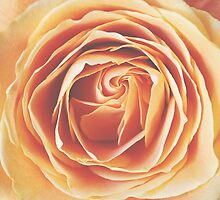 peach rose, dramatic  by STUDIOCLAIRE