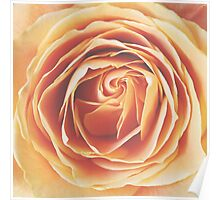 peach rose, dramatic  Poster