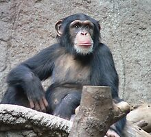 Awesome Chimpanzee by cute-wildlife