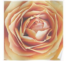peach rose, dramatic bloom Poster