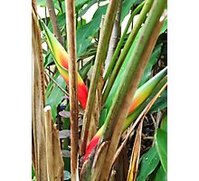 Heliconia, Mission Beach Photographic Print