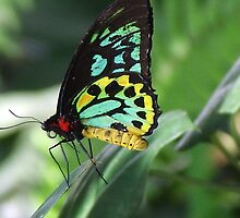 Cairns Birdwing Butterfly  -  Kuranda by Carmel Pacey