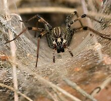 Funnel Web Spider by Otto Danby II