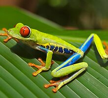 Special Red-eyed Tree Frog by cute-wildlife