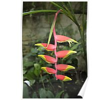 Heliconia Rostrata Poster