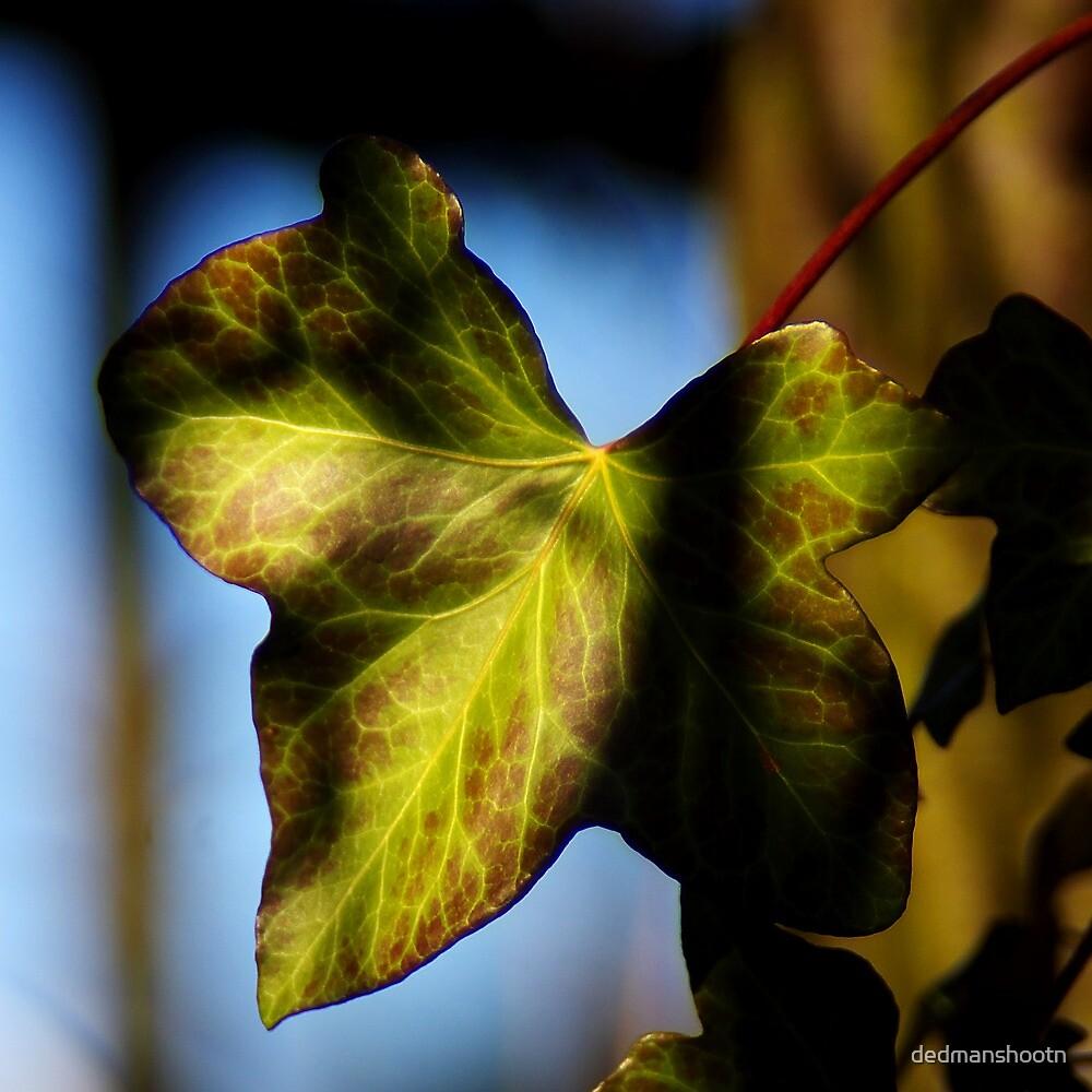 sunny ivy leaf by dedmanshootn