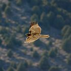 Red-tailed hawk at Mono Lake, California by sccaldwell