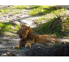 Yawning Lion Photographic Print