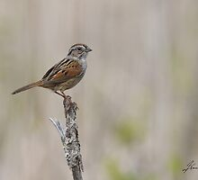 Adult Swamp Sparrow by DigitallyStill