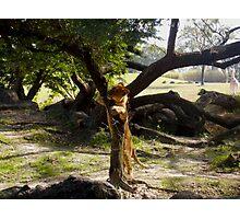Lion Climbing Tree Photographic Print