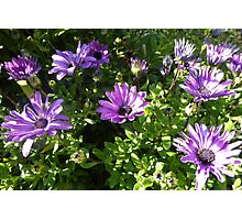 Purple Daisies after the Frost! 'Arilka' Mount Pleasant. Photographic Print