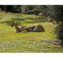 Grant's Gazelles Photographic Print