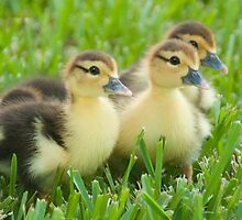 """The Three Little Ducks"" by John Hartung"
