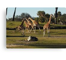 Giraffes Running Canvas Print