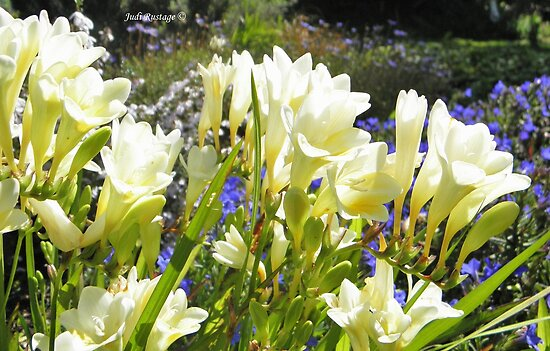 Freesias by Judi Rustage