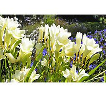Freesias Photographic Print