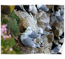 Nesting Kittiwakes, Saltee Island, County Wexford, Ireland Poster