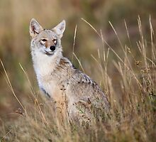 Coyote by Rob Lavoie