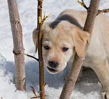 Labrador Lumberjack by Bill Maynard