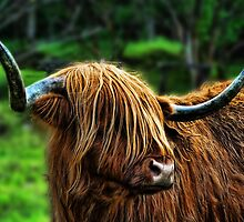 Highland Coo. by Colin Metcalf