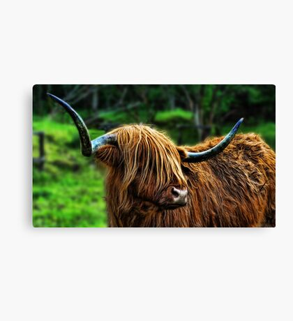 Highland Coo. Canvas Print