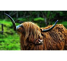 Highland Coo. Photographic Print