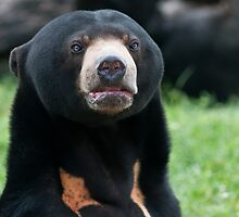 Malayan Sun Bear by Winston D. Munnings