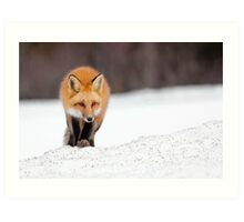Red Fox, Algonquin Park, Canada. Art Print