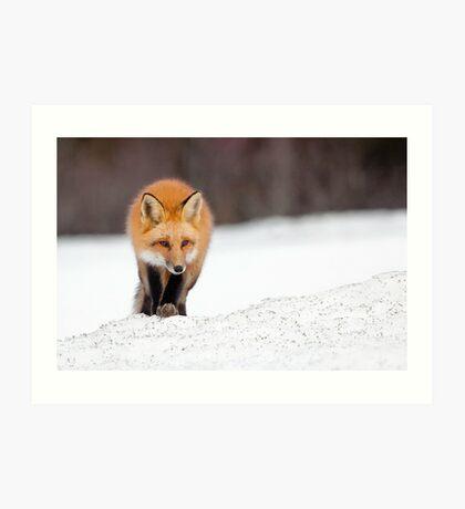Red Fox, Algonquin Park, Canada. Art Print
