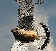 Peregrine Flaring on Ducks by J Leslie  Booth