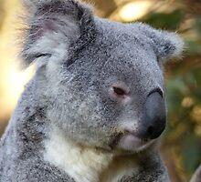 Koala at Australia Zoo by ConnieKerr