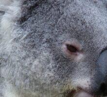 Koala at Australia Zoo Sticker