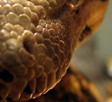 She's Watching You . . . - Columbian Redtail Boa Constrictor by mayauribe