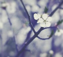 Cherry blossoms by Softly
