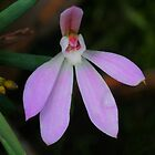 Pink Lady Finger Orchid .. Caladenia carnea by Michael Matthews