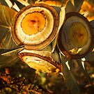 """Eucalyptus Macrocarpa Gum Nuts"" by Heather Thorning"