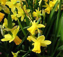 The Yellow Daffodil Choir by MarianBendeth