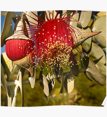 """Red Flowering Eucalyptus Macrocarpa"" Poster"